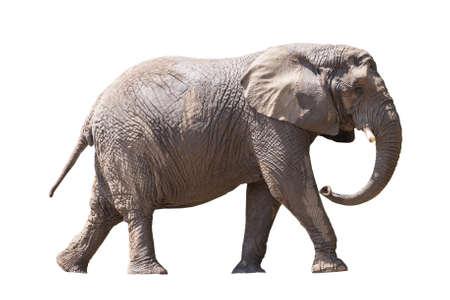 African elephant isolated on white Stock Photo