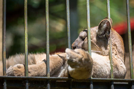 Puma lying in a cage at the zoo shows a finger to visitors