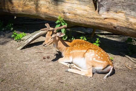 Fallow deer lying in the sun in forest Stock Photo