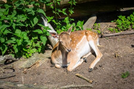 Fallow deer lying in the sun in forest Archivio Fotografico