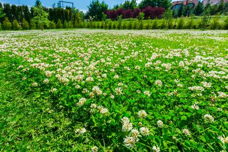 Mowing the lawn with a flowering clover in the garden