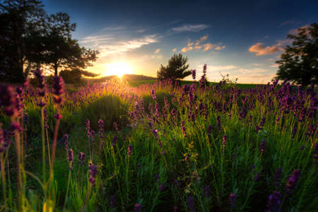 Lavender field at sunset in Poland