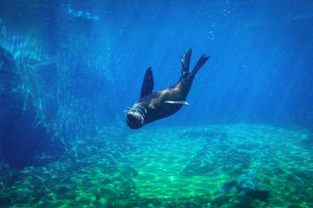 Seal swimming underwater in a natural aquarium