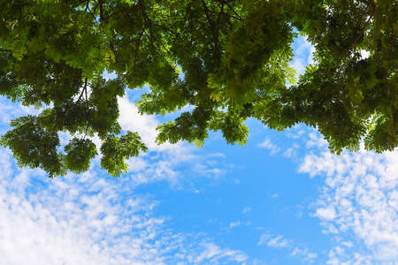 Green leaves and blue sky with sunlight in summer season.View up to the tree top of a huge plane tree in blue sunny day.