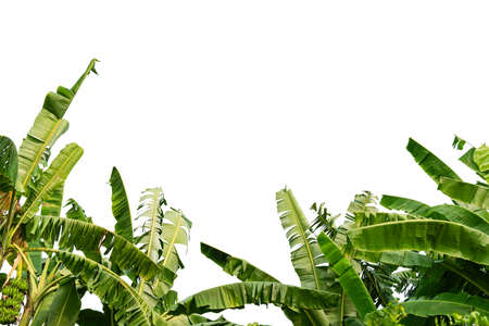 Banana leaves on isolated white background.