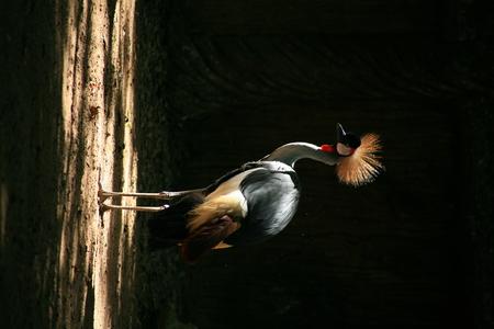 crowned crane: Crowned Crane  African Crowned Crane