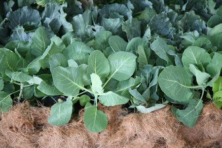 green leafy vegetables: Green organic vegetables Stock Photo