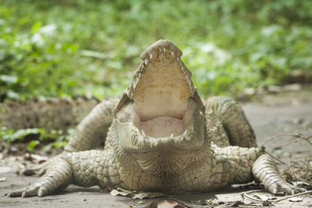 Albino Crocodile  Albino Siamese Crocodile : Freshwater crocodile , skin is white , nearly extinct , found in Southeast Asia