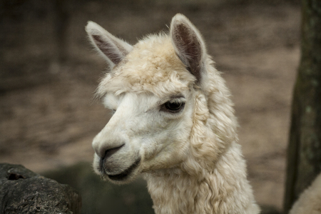 Alpaca / Close up photos of Alpaca