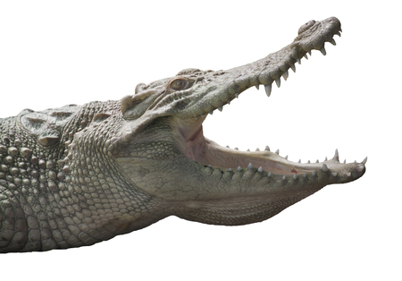 Albino Crocodile head  / Skin is white , nearly extinct , found in Southeast Asia Banque d'images