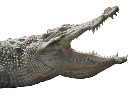 Albino Crocodile head  / Skin is white , nearly extinct , found in Southeast Asia Archivio Fotografico