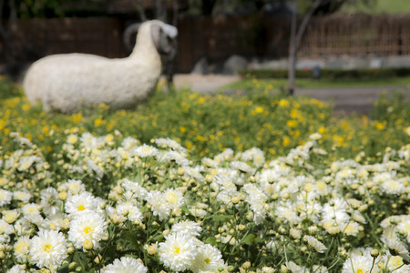 Sheep in yellow and white flowers