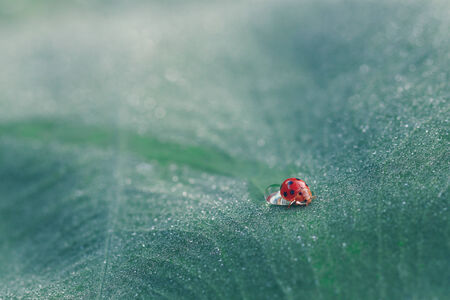 ladyfly: lady bug on leaf water drops Stock Photo