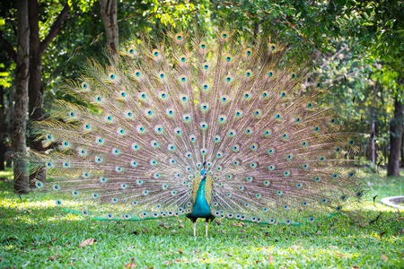 blue peafowl: Peacock in full feather, peafowl