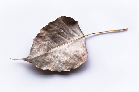 peepal tree: dry leaf from Bodhi Tree from india, Banyan Tree dry leaf, on white background