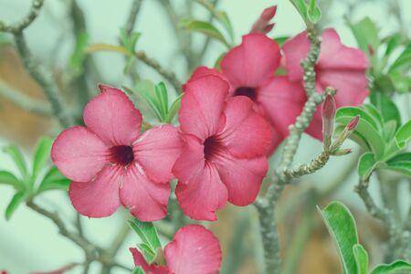 vintage tone of tropical pink flowers frangipani (plumeria) photo