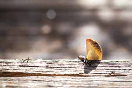 vivipara: lizard Stock Photo