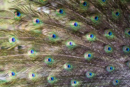 peafowl: background of behind Peacock in full feather, peafowl Stock Photo