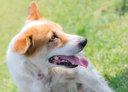 nicely: happy dog is smiling with a nicely green grass background Stock Photo