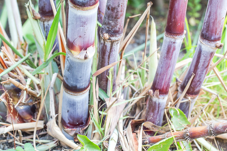 close up of Sugarcane for sugar