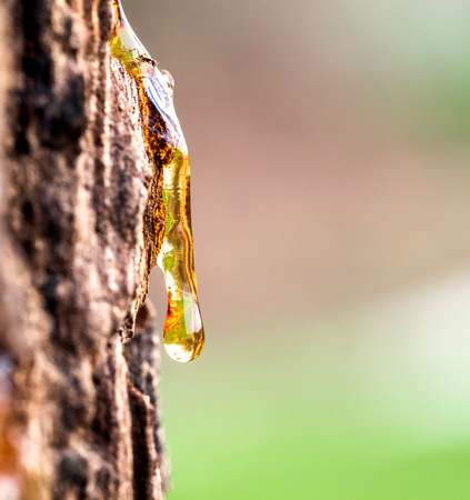 Drop of Resin on Tree Bark