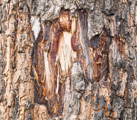 outflow: Drop of Resin on Tree Bark