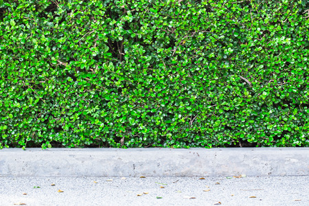 hedgerow: green small leaves wall background texture