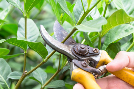 Pruning leaves in the garden tree. Stock Photo
