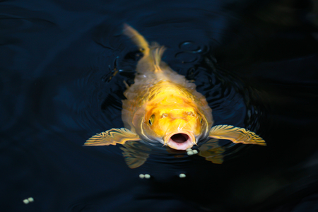 perky: Perky carp fish in a pond swimming up to see if there is any food in a shady pond.
