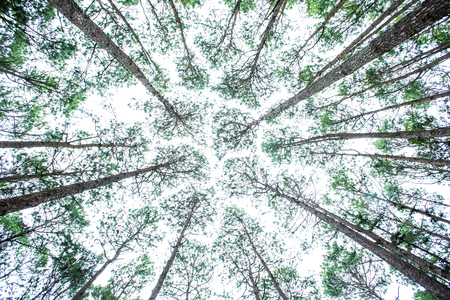 dense forest: Vertical perspective within a dense forest of pine trees with windy Stock Photo