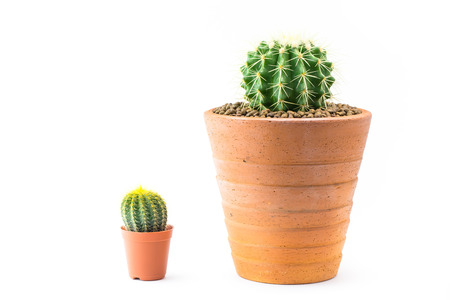 cactus species: Close up of shaped cactus with long thorns on clay pots white background.