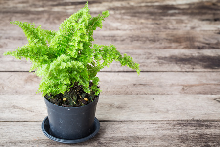 Vintage color soft light tone of Ferns are growing in black pots on wooden background. Image has shallow depth of field.
