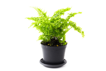 brake fern: soft light tone of Ferns are growing in black pots on white background.