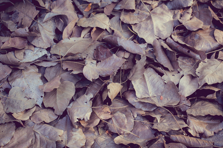 to focus: vintage color tone with soft focus of dry leaf on ground, Bo leaves dry