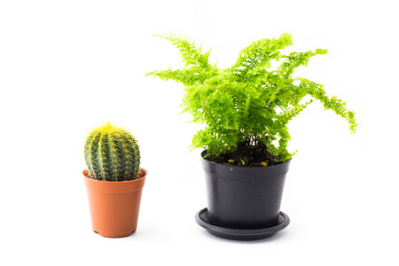 brake fern: soft light tone of Ferns and Cactus are growing in black pots on white background.
