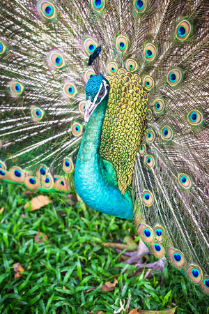 Peacock in full feather, peafowl