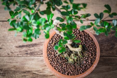 ornamental horticulture: roots Small bonsai tree in the clay pots on wooden floor. Stock Photo