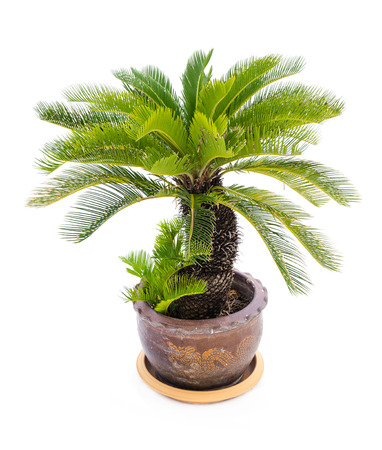 cycas: Palm tree cycas revoluta in clay pots isolated on white background, used for in interiors home, garden and park decoration Stock Photo