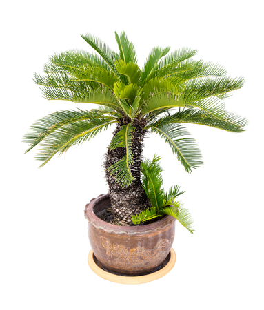 cycas: Palm tree cycas revoluta in clay pots isolated on white background.