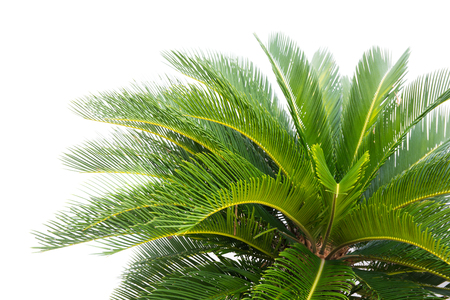 soft light green leaves of cycad plam tree plant white background.