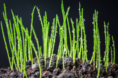 Young rice seedling growing in a soil