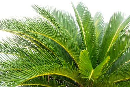 cycad: green leaves of cycad plam tree plant white background use for garden and park decorated Stock Photo