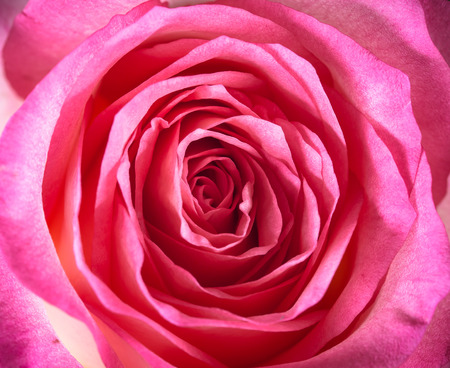 Vintage tone of Pink rose Stok Fotoğraf