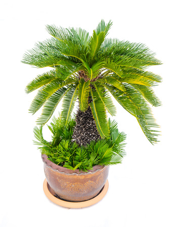 Palm tree cycas revoluta in clay pots isolated on white background, used for in interiors home, garden and park decoration Stok Fotoğraf