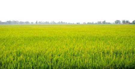 Agriculture rural life with ponds for rice farming, Green young rice plants are growing in paddy field. Agricultural lifestyle concept of Thailand.