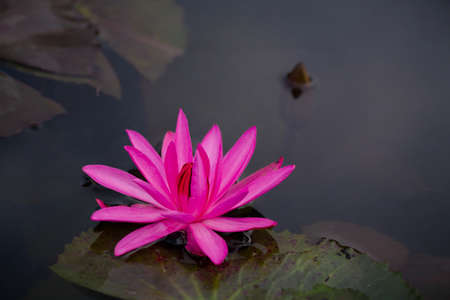 Pink Lotus flowers bloom among the water for background.