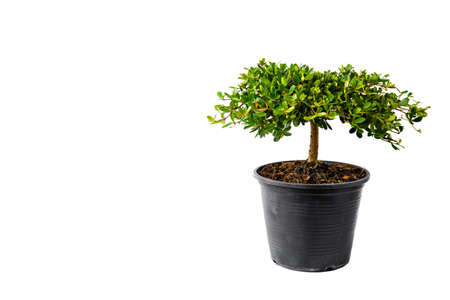 Small decorative tree, little Tree in the pots isolated on white background. Eco concept with copy space for text or art work design. Terminalia ivorensis.