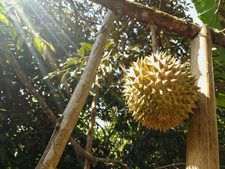 Montong durian tree in the garden of Chanthaburi, Thailand Stock Photo - 87710780