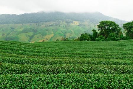 Tea plantation Stock Photo - 10995486