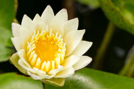 Yellow water lily Stock Photo - 11242607